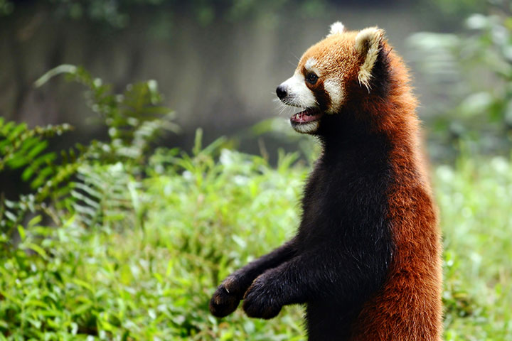 Red Panda In Society & Culture